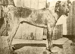 A TYPICAL YEAR OLD LION DOG c. 1923