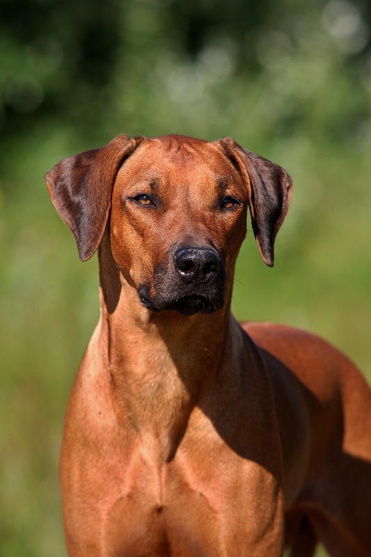 http://www.lady-ridgeback.sk/main/images/phocagallery/G-litter-Lexi/thumbs/phoca_thumb_l_img_8665.jpg
